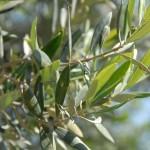 olive, Fleur de Bach