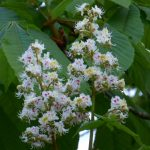 white-chesnut fleurs de bach lorraine