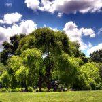 willow fleurs de bach nancy